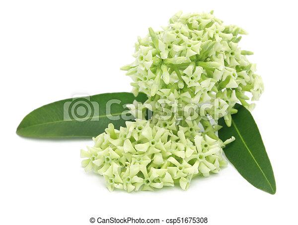 Flowers of Alstonia scholaris - csp51675308