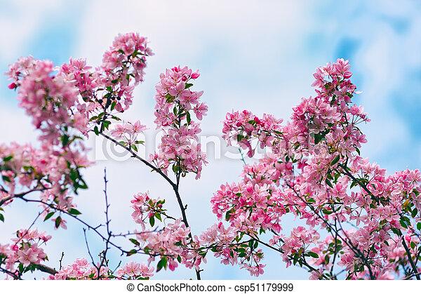 Flowers of apple tree on blue sky background - csp51179999