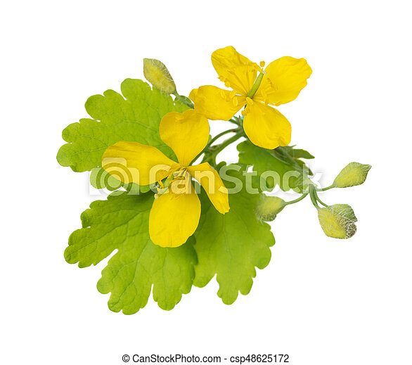 Flowers Of Celandine On White Yellow Flowers And Green Leaves Of A