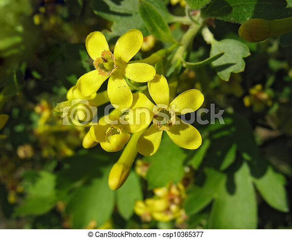 Flowers of golden currant ribes aureum yellow flowers of golden flowers of golden currant ribes aureum csp10365377 mightylinksfo