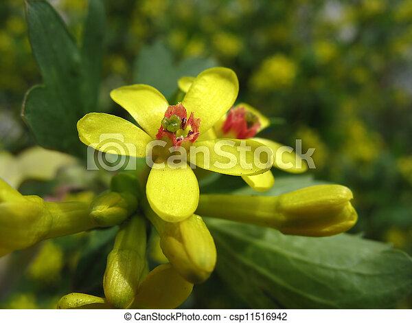 Flowers of golden currant ribes aureum yellow flowers of golden flowers of golden currant ribes aureum csp11516942 mightylinksfo