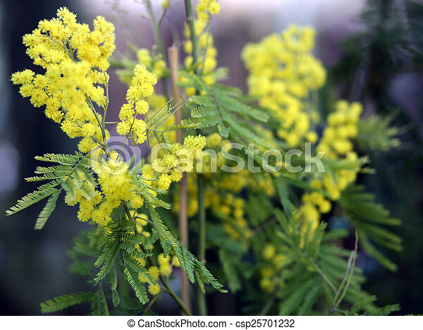 Yellow flowers of mimosa acacia tree in spring flowers of mimosa acacia tree in spring csp25701232 mightylinksfo