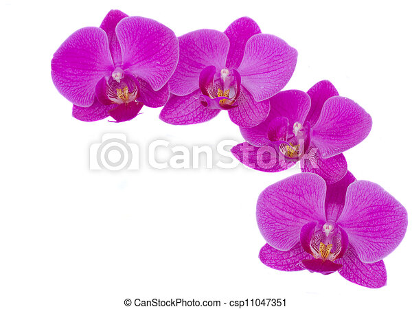 Violet flowers of orchid frame isolated on white background.