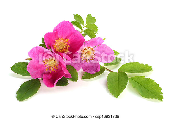 Flowers of pink dog rose with leaves - csp16931739