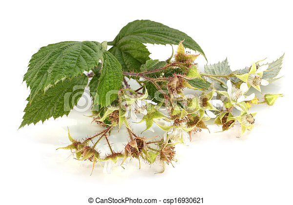 Flowers of raspberry with leaves - csp16930621
