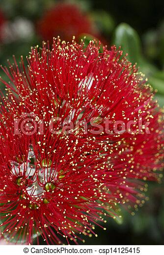 Flowers of the Pohutukawa Tree (Metrosideros excelsa) - csp14125415