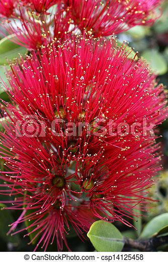 Flowers of the Pohutukawa Tree (Metrosideros excelsa) - csp14125458
