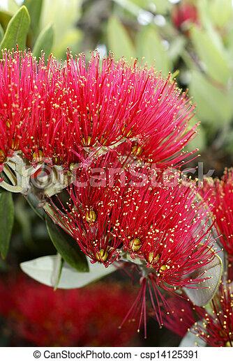 Flowers of the Pohutukawa Tree (Metrosideros excelsa) - csp14125391
