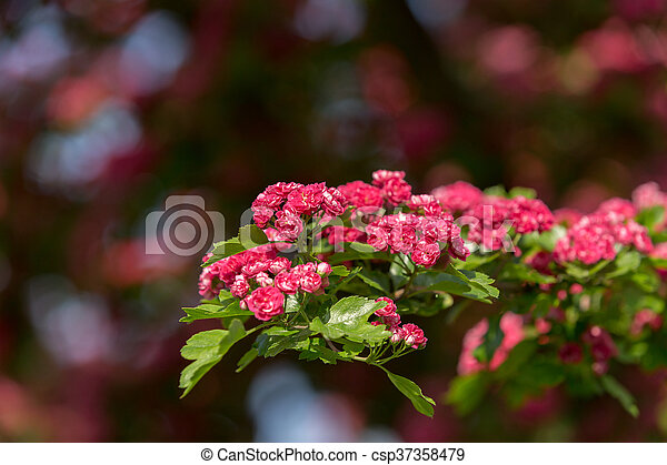 Flowers pink hawthorn tree pink hawthorn flowers pink hawthorn flowers pink hawthorn tree pink hawthorn csp37358479 mightylinksfo