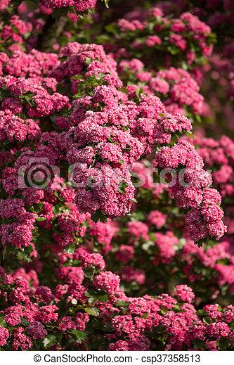 Flowers pink hawthorn tree pink hawthorn flowers pink hawthorn flowers pink hawthorn tree pink hawthorn csp37358513 mightylinksfo