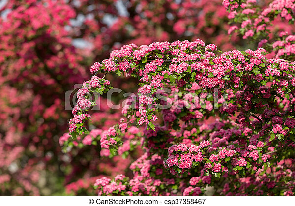Flowers pink hawthorn tree pink hawthorn flowers pink hawthorn flowers pink hawthorn tree pink hawthorn csp37358467 mightylinksfo