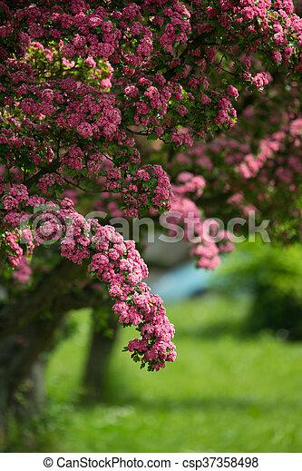 Flowers pink hawthorn tree pink hawthorn flowers pink hawthorn flowers pink hawthorn tree pink hawthorn csp37358498 mightylinksfo