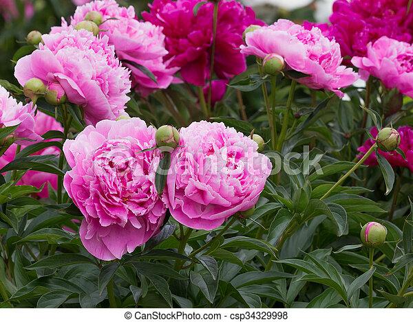 Flowers pink purple peonies in the garden beautiful lush bush of flowers pink purple peonies in the garden csp34329998 mightylinksfo