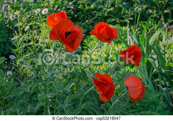 Flowers poppies flowers of bright colors poppies in the garden flowers poppies csp53218047 mightylinksfo