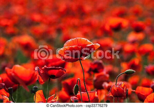 Flowers - red poppies in the field - csp33776279