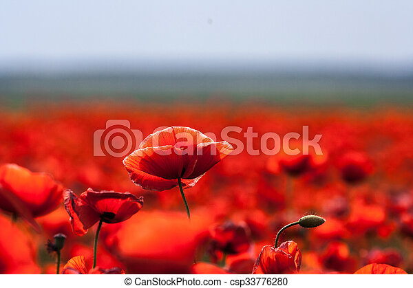 Flowers - red poppies in the field - csp33776280