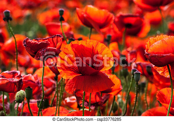 Flowers - red poppies in the field - csp33776285