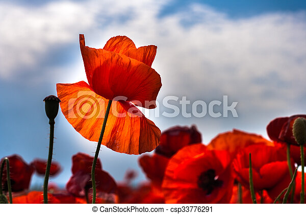 Flowers - red poppies in the field - csp33776291