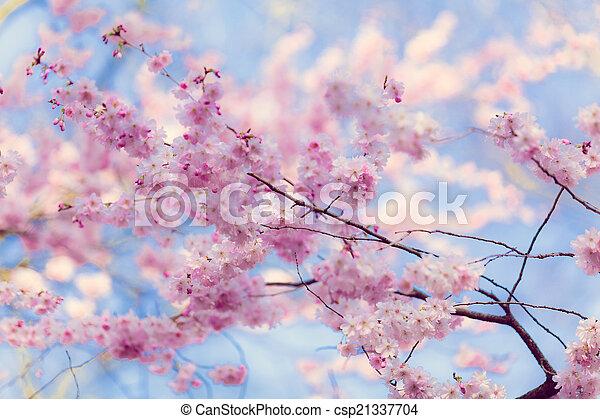 flowers., sakura - csp21337704