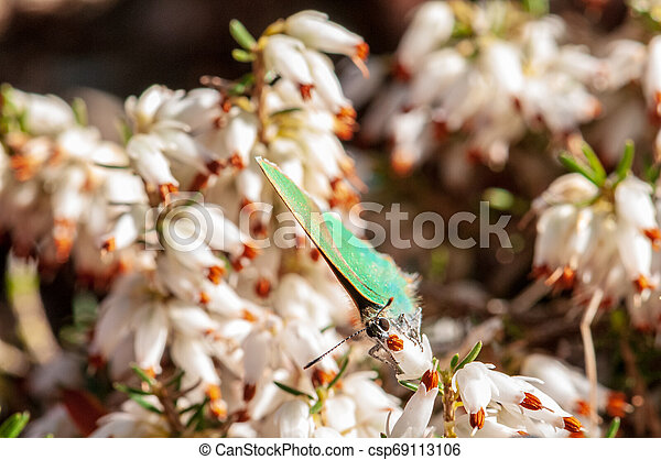 Flowers Spring Heath forest Erica carnea - csp69113106