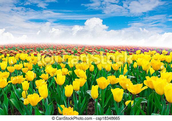 flowers Tulip - csp18348665