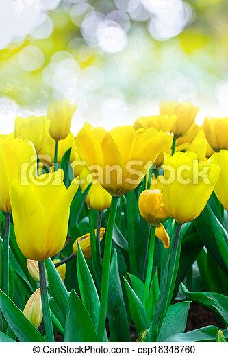 flowers Tulip - csp18348760