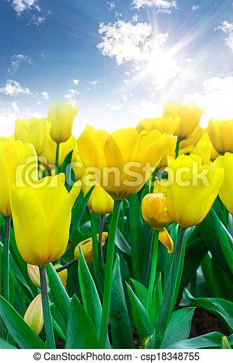 flowers Tulip - csp18348755