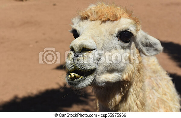 Fluffy Alpaca Face