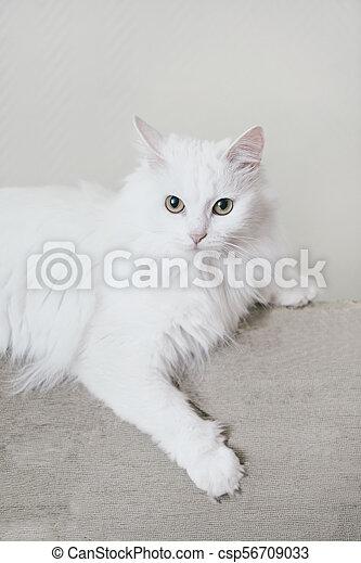 Fluffy Cat Lying On Sofa Fluffy White Turkish Van Cat Lying On Sofa