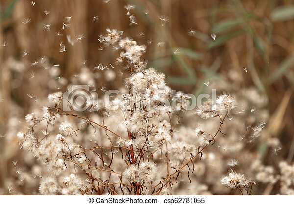 fluffy dandelion seeds blown by the wind - csp62781055