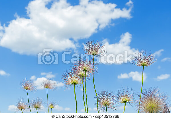 fluffy flowers on the sky background - csp48512766