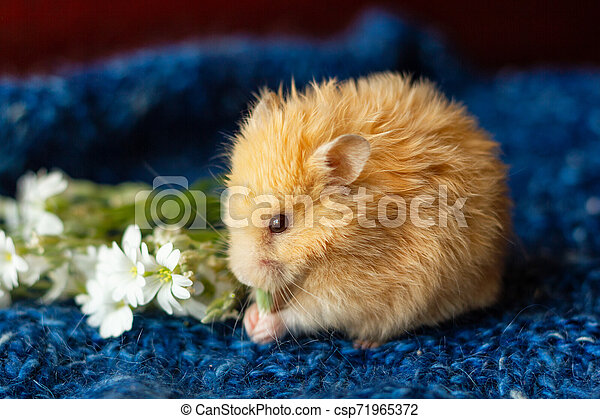 fluffy hamster with flowers on blue background - csp71965372