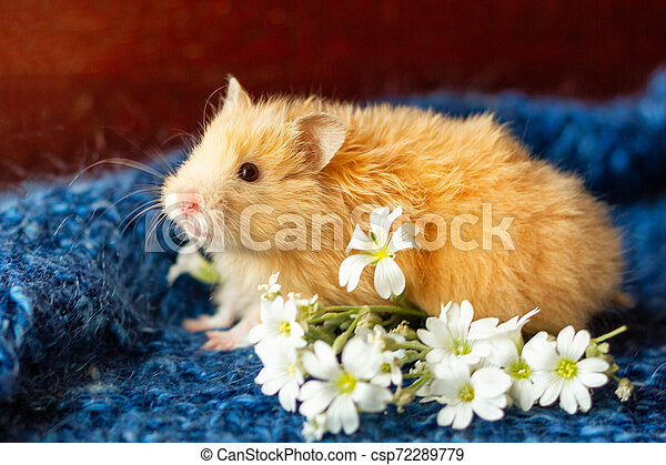 fluffy hamster with flowers on blue background - csp72289779