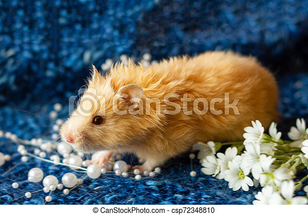 fluffy hamster with flowers on blue background - csp72348810