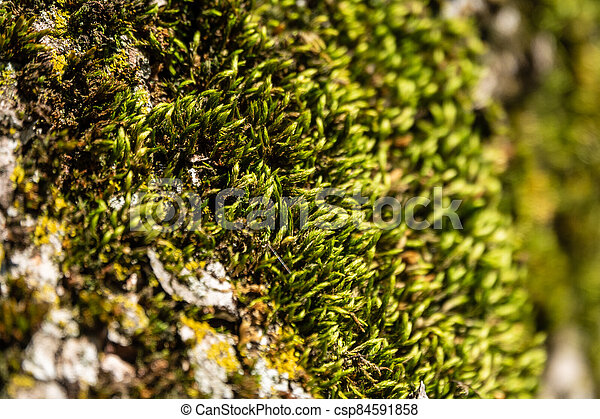 Fluffy soft green moss in the forest. - csp84591858