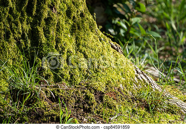 Fluffy soft green moss in the forest. - csp84591859