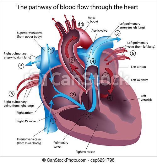 fluxo, através, sangue, coração - csp6231798