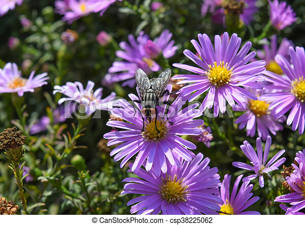 Fly Drinking Nectar On A Light Purple Flowers. Insects Pollinate Flowers.