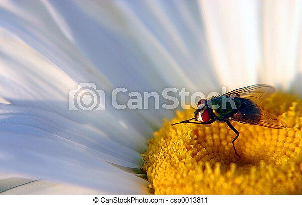 Fly on a Daisy - csp0013811