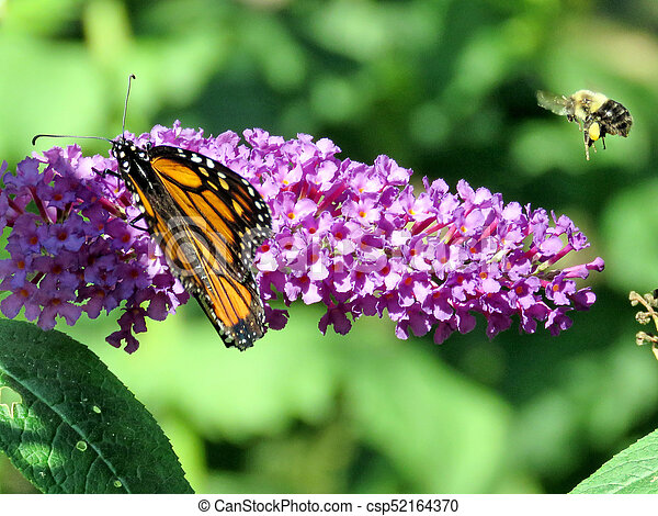 Flying bee and Monarch Butterfly on a buddleja flower - csp52164370