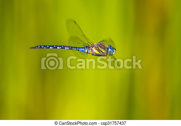 Flying large dragonfly - csp31757437