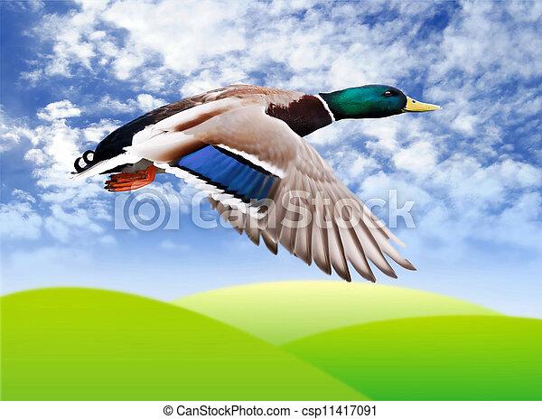 Flying mallard drake - csp11417091