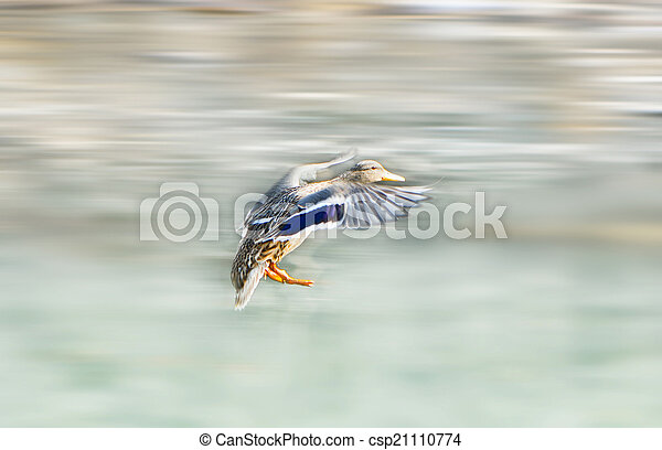 flying mallard duck - csp21110774