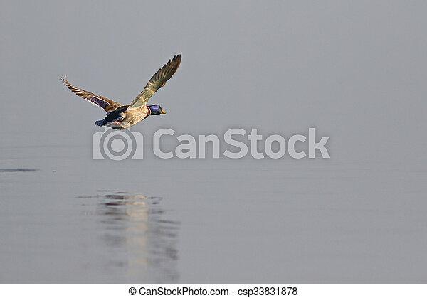 Flying mallard duck - csp33831878