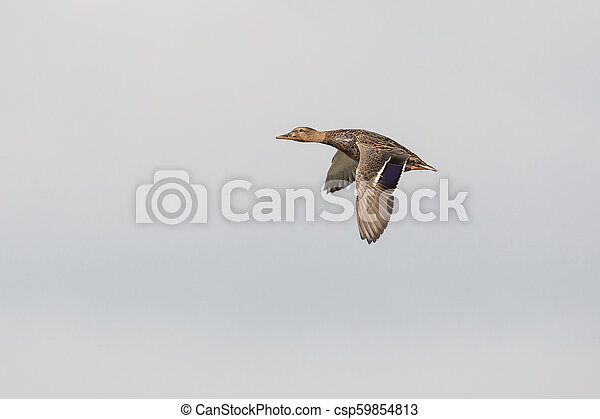 Flying Mallard duck - csp59854813