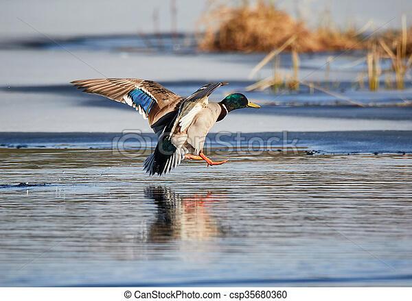 Flying mallard - csp35680360