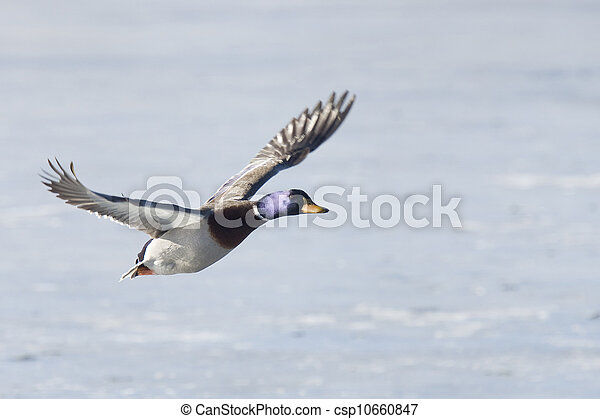 Flying Mallard - csp10660847