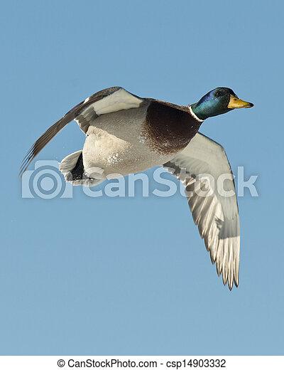 Flying Mallard - csp14903332