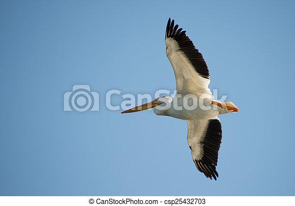 Flying Pelican - csp25432703