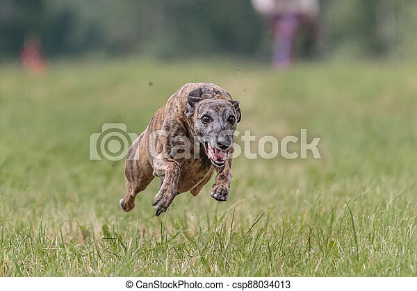 Flying whippet in the field on lure coursing competition - csp88034013